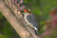 Red-bellied Woodpecker (Melanerpes carolinus) in redbud tree..  Eastern U.S., Spring.