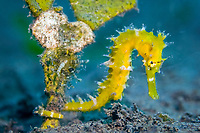 Thorny seahorse, Hippocampus histrix, Komodo National Park, Komodo Island, Nusa Tenggara, Indonesia, Pacific Ocean