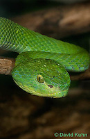 0429-1104  Mexican Palm Pitviper (Rowley's Palm Pit Viper), Very Rare Mexican Snake, Bothriechis rowleyi  © David Kuhn/Dwight Kuhn Photography
