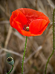 Red poppy in the Rose Valley, Zagora Plains near Kazanlak, Bulgaria