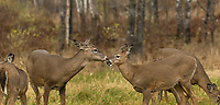 White-tailed doe and her fawn chewing their cud.
