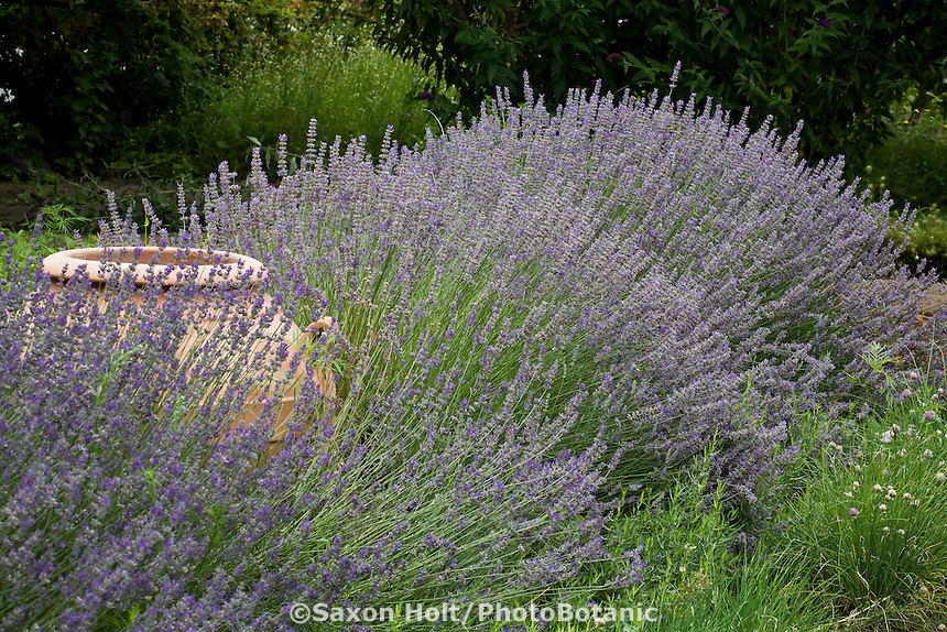 Flowering lavender hedge (Lavandula x intermedia), herb Lavandin, with terra cotta urn in drought tolerant organic garden