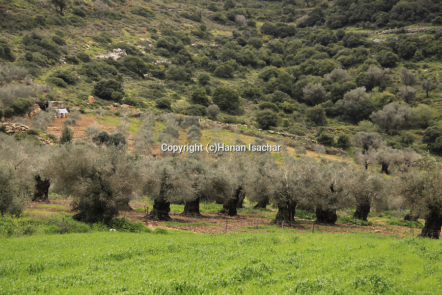 Israel, Lower Galilee, an Olive grove at the foothill of Mount Atzmon