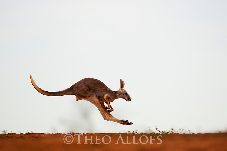 Australia,  NSW, Sturt National Park; red kangaroo female jumping (Macropus rufus); the red kangaroo population increased dramatically after the recent rains in the previous 3 years following 8 years of drought