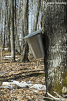 Stand of sugar maple trees tapped with sap buckets