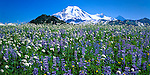 Mt Baker-Snoqualmie NF, WA  <br /> Mt Baker towers above a summer meadow filled with lupine and bistort in Mt Baker Wilderness Area