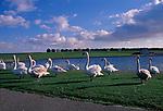 A752Y4 Swans Clacton Essex England