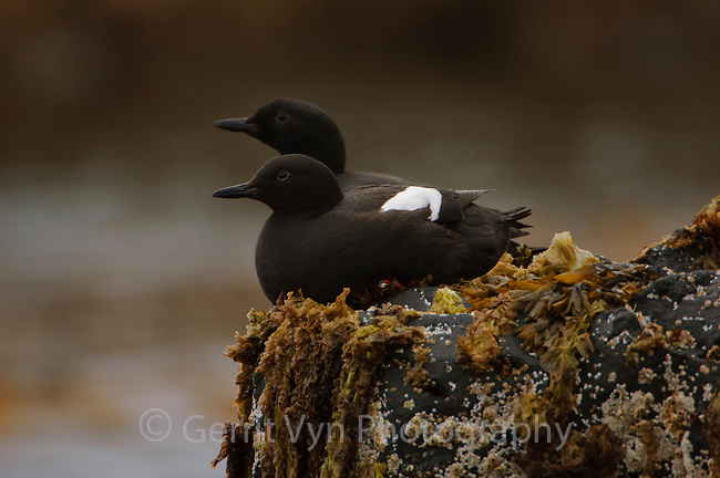 Pair of Breeding adult Pigeon Guillemots (Cepphus columba) loafing in the intertidal zone. St. Lazaria Island, Alaska. June.