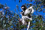 Verreaux's Sifaka, Madagascar (Vulnerable)