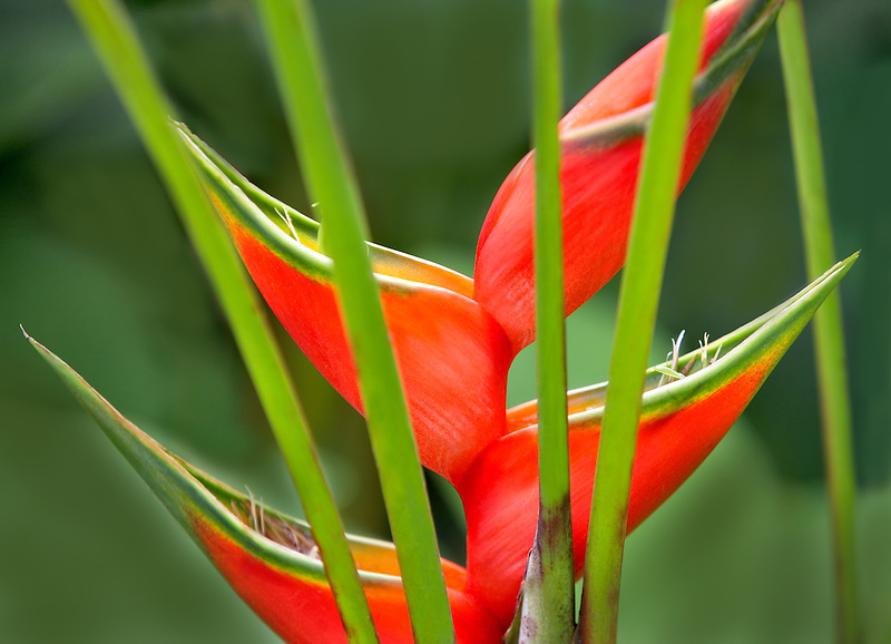 Giant Lobster Claw (Heliconia bihai). Garden of Eden Botanical Gardens. Maui. Hawaii