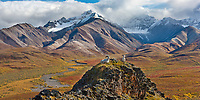 Dall sheep rams on a rock outcrop in Polychrome Pass, autumn colors in the distance, flanked by the Alaska Range mountains, Denali National Park, Alaska.