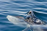 Bryde's whale, Balaenoptera edeni, adult, surface skim feeding on euphausids off Isla del Carmen in the southern Gulf of California, Sea of Cortez,, Baja California Sur, Mexico, Pacific Ocean