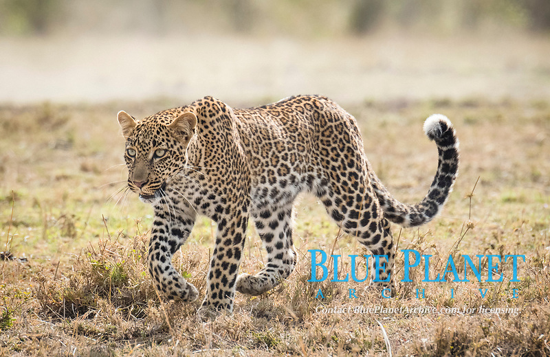 African leopard, Panthera pardus pardus, Masai Mara, Kenya, Africa