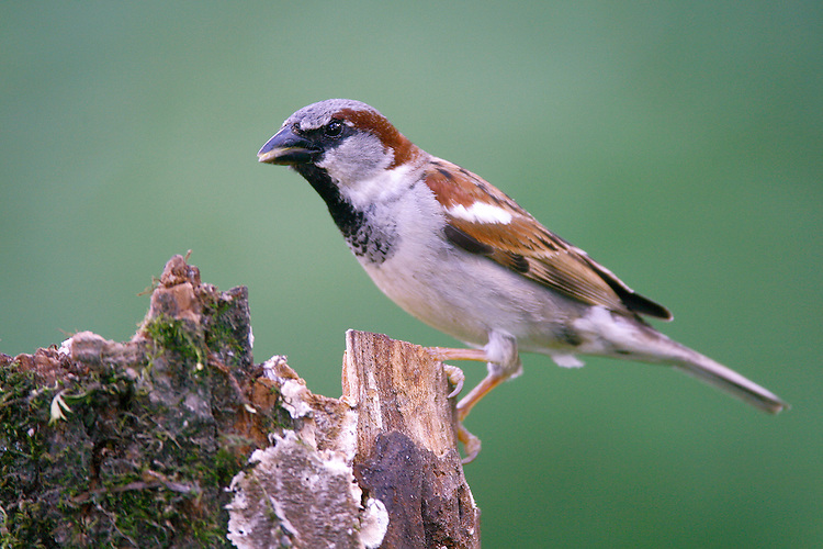 House Sparrow - Passer domesticus - male