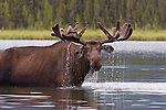 Bull Moose at Mayfield Lakes.  Muskwa-Kechika Management Area in northeast British Columbia.  Northern Rocky Mountains of Canada