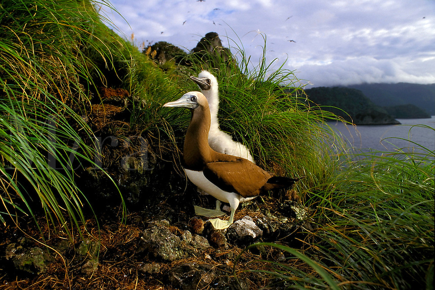 Brown booby, Sula leucogaster, is found in the tropics worldwide . It nests in colonies on marine islands, and feeds on fishes and squid, Cocos Island, Pacific Ocean