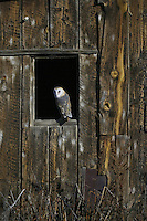Barn Owl looking back from an old barn window