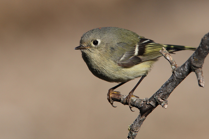 •The Ruby-crowned Kinglet is a tiny bird that lays a very large clutch of eggs. Although the eggs themselves weigh only 0.65 g (0.02 oz), an entire clutch can weigh as much as the female herself.
