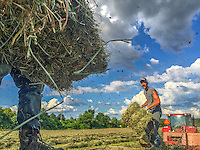 A farmer looks toward his partner as he prepares to toss another bale of hay as they load trailers with bales from the Braun Farm property at Cleveland and Cooper.
