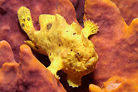 Longlure frogfish, Antennarius multiocellatus, inhabits shallow reefs, commonly found in areas with sponges, background hue of the fish conforms to that of the dominant sponge in the areas and the ocelli look like openings in the sponge, feed mainly on fishes, but also eat crustaceans. A voracious predator, with many color phases used for camouflage. Martinique, French Island, Caribbean Sea, Atlantic
