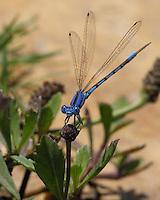 Familiar Bluet Damselfly (Enallagma civile) are medium-sized damselflies. Males are more blue than black as seen here.