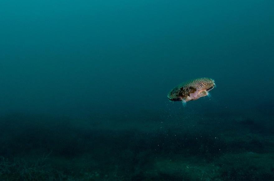 Queen scallop, Aequipecten opercularis, swimming bivalve, Lofoten, Norway,