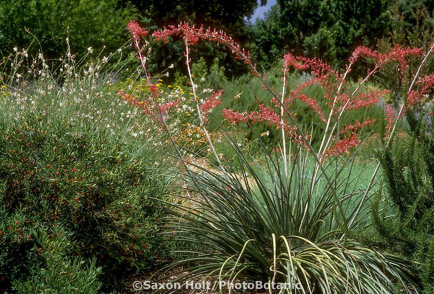 Hesperaloe parviflora (Red Yucca) flowering in drought tolerant garden