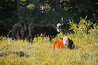Cattle. Hereford and black angus<br /> Fort Walsh<br /> Saskatchewan<br /> Canada