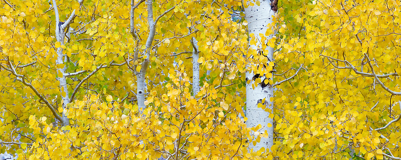 Aspens in fall color. Inyo National Forest. California
