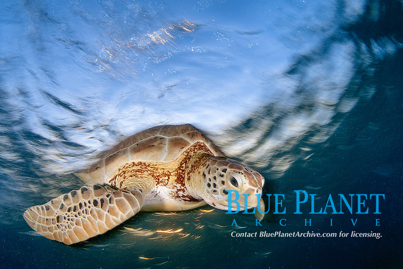 Green sea turtle, Chelonia mydas, swimming to the surface to take a breath, Akumal Bay, Mexico, Caribbean Sea, Atlantic Ocean