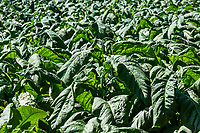 Tobacco plants growing in a field, Tennessee, USA.