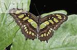 A Malachite Butterfly (Siproeta stelenes).