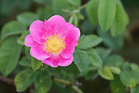 Samt-Rose, Sherard-Rose, Sammet-Rose, Samtrose, Sherardrose, Sammetrose, Sherards-Rose, Rosa sherardii, Rosa omissa, Sherard's Downy-Rose, Rosier de Sherard