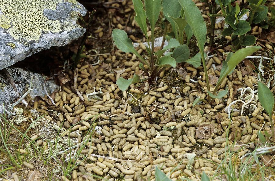 Berglemming, Berg-Lemming, Lemming, Losung, Kot, Kotpillen, Lemmus lemmus, Norway lemming, Norwegian lemming