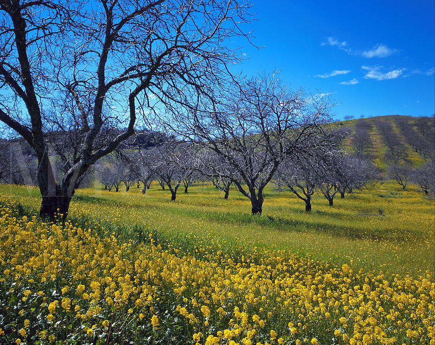 A grove of walnut trees with mustard flowers in early spring. California.