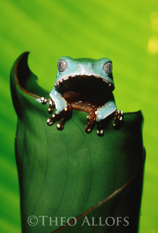 Two-colored tree frog on leaf; Peru, Tambopata River