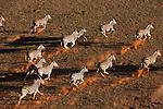 Namibia, Namib Desert, Namibrand Nature Reserve, aerial of running zebra herd in desert (Equus burchelli)
