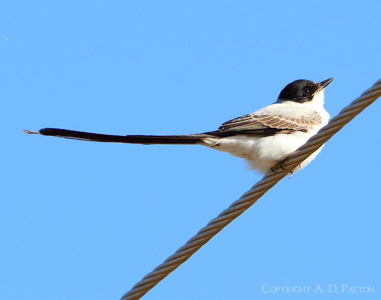 Fork-tailed flycatcher. This bird was photographed in Austin, TX on December 21, 2012. The bird was part of a loose flock of scissor-tailed flycatchers and had been seen repeatedly for about a week after being discovered during the Austin Christmas bird count. The fork-tailed flycatcher's normal range is southern Mexico to central Argentina but it is given to vagrant wanderings and so it is an occasional visitor to Texas, other states and even Canada.