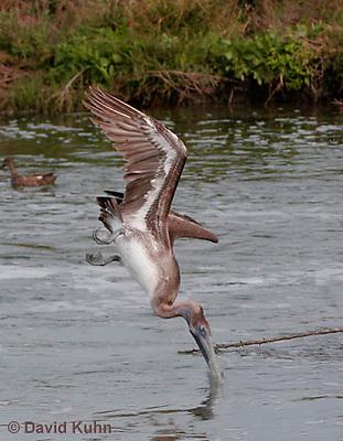 0308-0826  Diving Brown Pelican, Pelecanus occidentalis © David Kuhn/Dwight Kuhn Photography