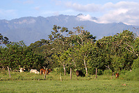 Brahma cattle grazing in a field outside the Spanish colonial town of Gracias, Honduras.