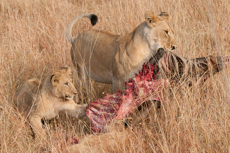 A lion mother feasts on a newly killed wildebeest during the Great Migration in Kenya. During lean times there is a strict order of feeding in lion. The territorial males eat first, mothers follow and cubs would be last. However during times of plenty the order is not strictly observed as the pride is likely to be making kills more often.