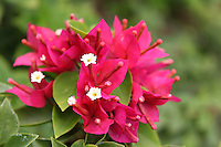 Bright red delicate bougainvillaea petals with blurred background