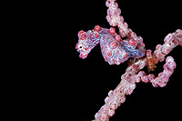 Pygmy seahorse, Hippocampus bargibanti, dive site: Three systers, Farondi Island, Raja Ampat, West Papua, Indonesia, Indo-Pacific Ocean