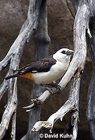 0728-1008  White-headed Buffalo-weaver, East African Bird, East Africa, Dinemellia dinemelli  © David Kuhn/Dwight Kuhn Photography
