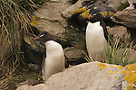 A rockhopper penguin pair on West Point Island in the Falkland Islands.
