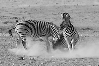 Burchell's Zebras fighting near Nebrownii Waterhole in Etosha