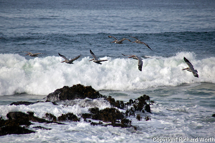A squadron of Brown Pelicans, one of their collective nouns, fly over incoming waves at Pigeon Point Lightstation State Historic Park on California's coast.