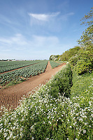 Spring field margins in early cauliflower crop - Lincolnshire, May