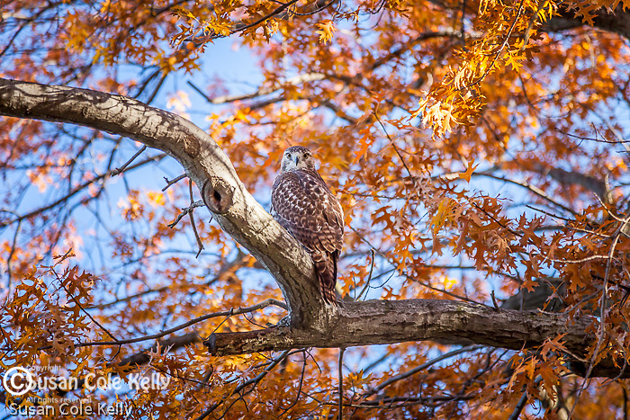 A red-tailed hawk in the oaks on the Charles River Esplanade, Boston, MA, USA