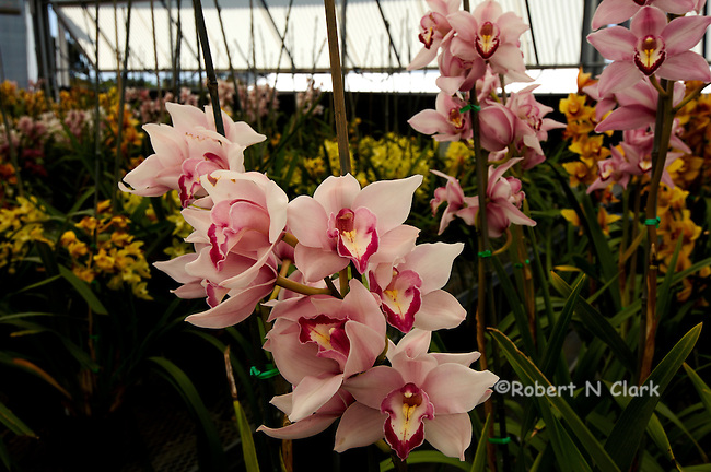 Cymbidium orchids in a greenhouse at the flower fields in Carlsbad